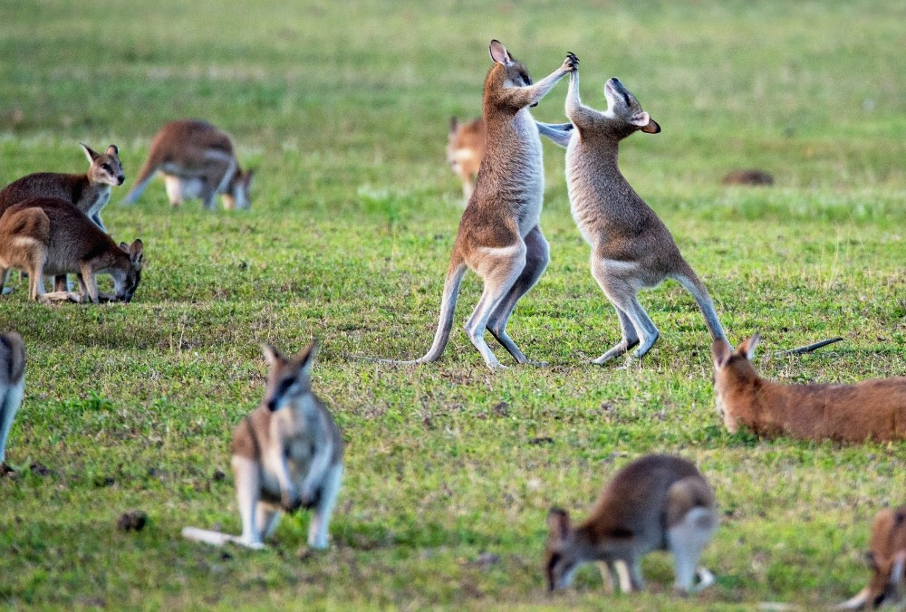 Kangaroo Tour Queensland